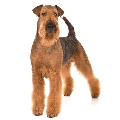 Rase de caini Airedale Terrier