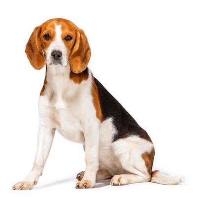 Rase de caini Beagle