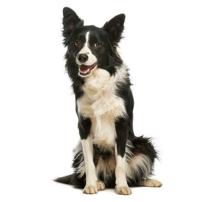 Rase de caini Border Collie