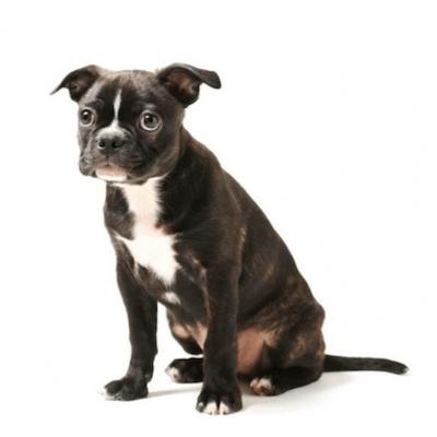 Rase de caini Boston Terrier