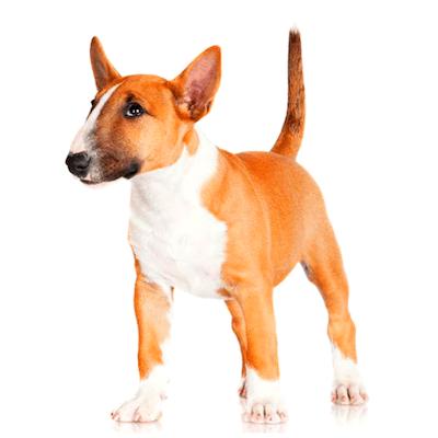 Rase de caini Bull terrier