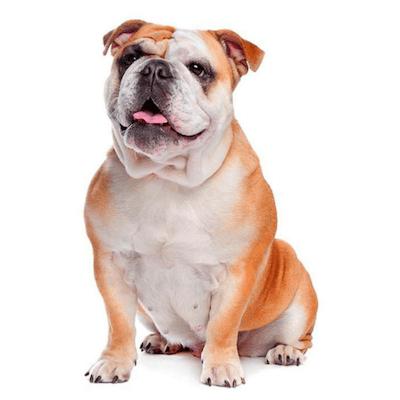 Rase de caini Bulldog