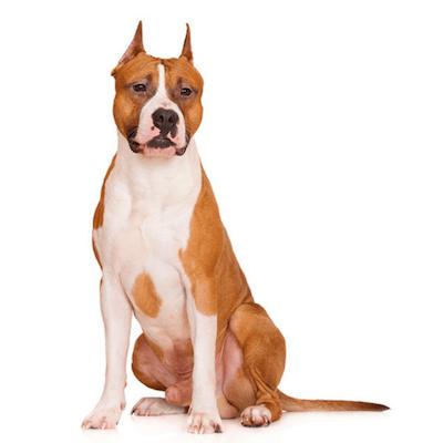 Rase de caini mari American Staffordshire Terrier