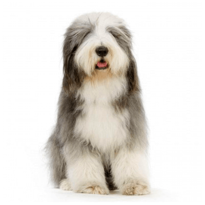 Rase de caini mari Bearded Collie