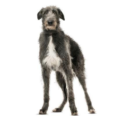 Rase de caini mari Deerhound