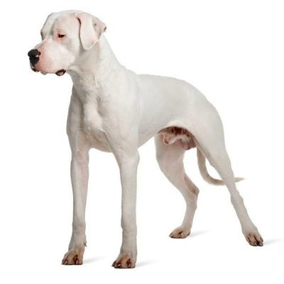 Rase de caini mari Dog argentinian