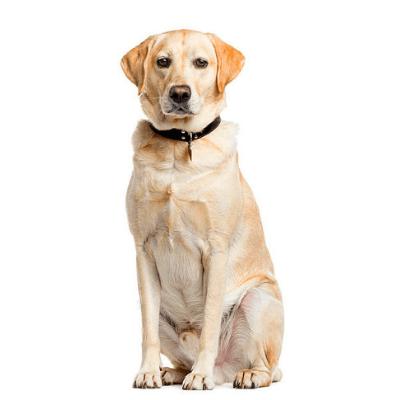 Rase de caini mari Labrador Retriever