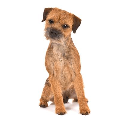 Rase de caini mici Border Terrier