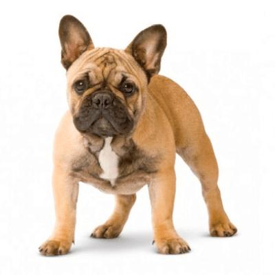 Rase de caini mici Bulldog Francez