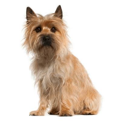 Rase de caini mici Cairn Terrier