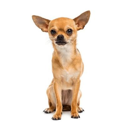 Rase de caini mici Chihuahua