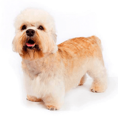Rase de caini mici Dandie Dinmont Terrier