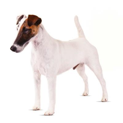 Rase de caini mici Fox Terrier cu blana intinsa