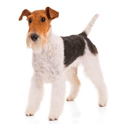 Rase de caini mici Fox Terrier sarmos