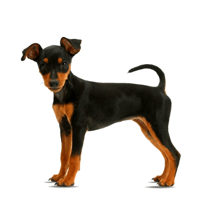 pinscher in miniatura