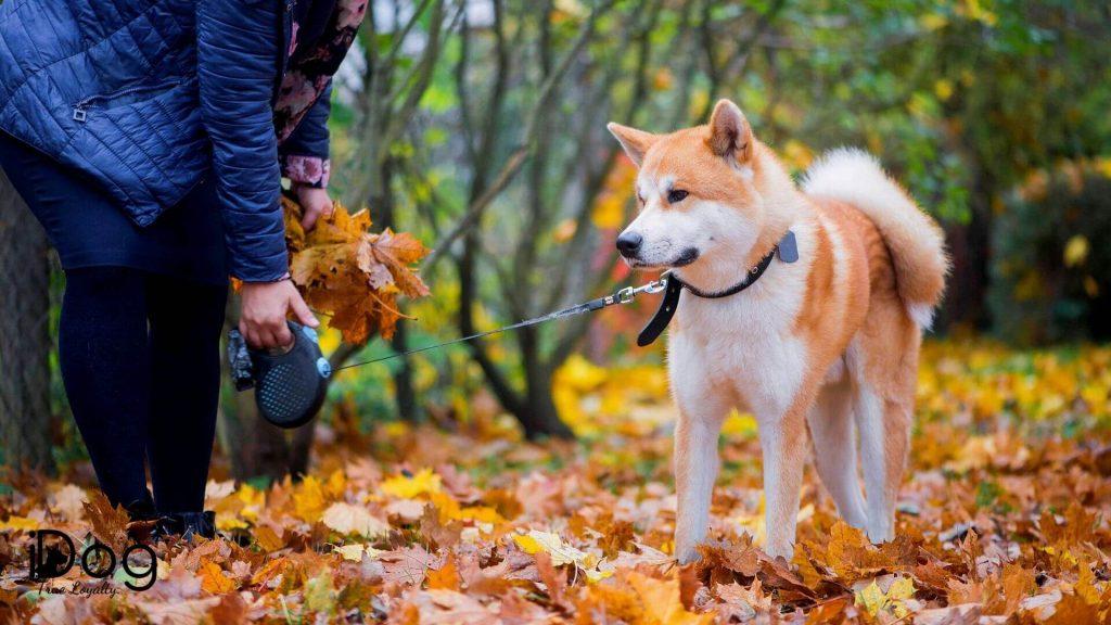 Caine Akita Inu plimbat in lesa