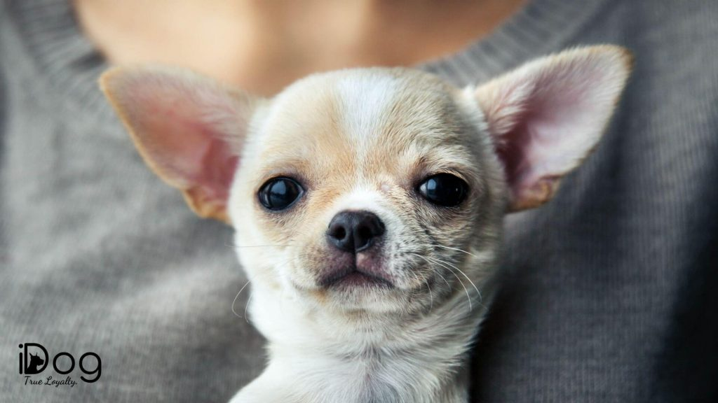 Rase-de-caini-mici-de-buzunar-Chihuahua