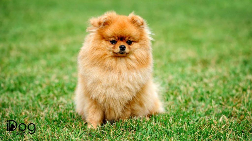 Rase-de-caini-mici-de-buzunar-Pomeranian