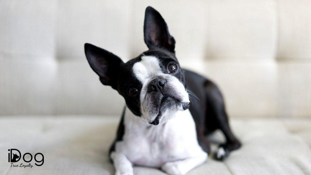 caini mici de apartament - rasa boston terrier