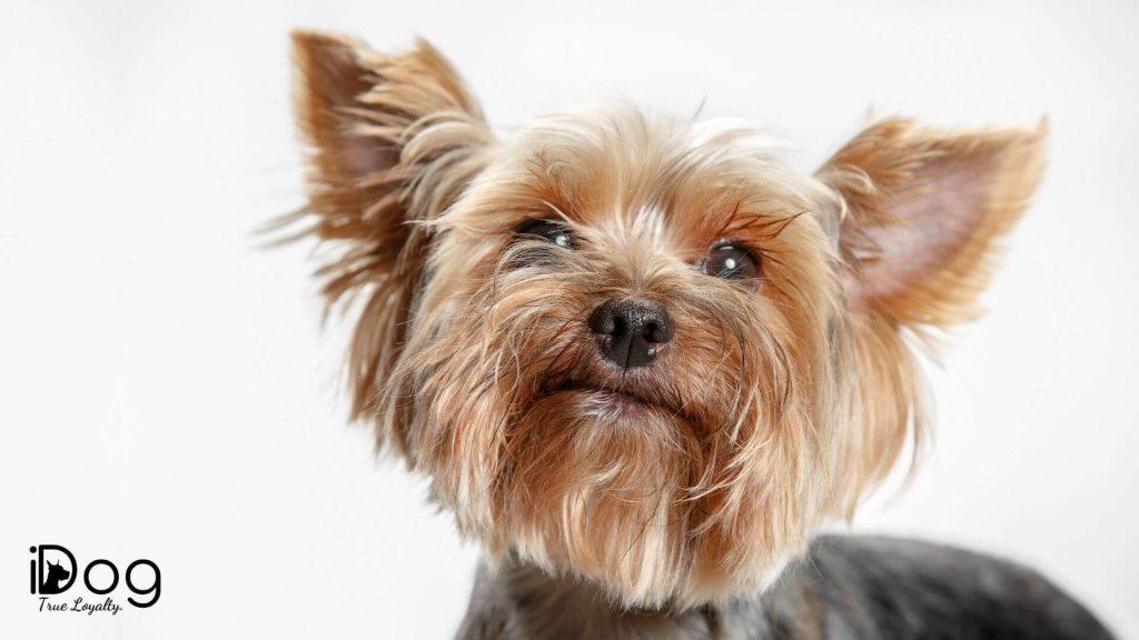 rasa yorkshire terrier