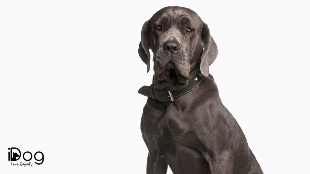 top 10 rase de caini mari - mastiff napoletan